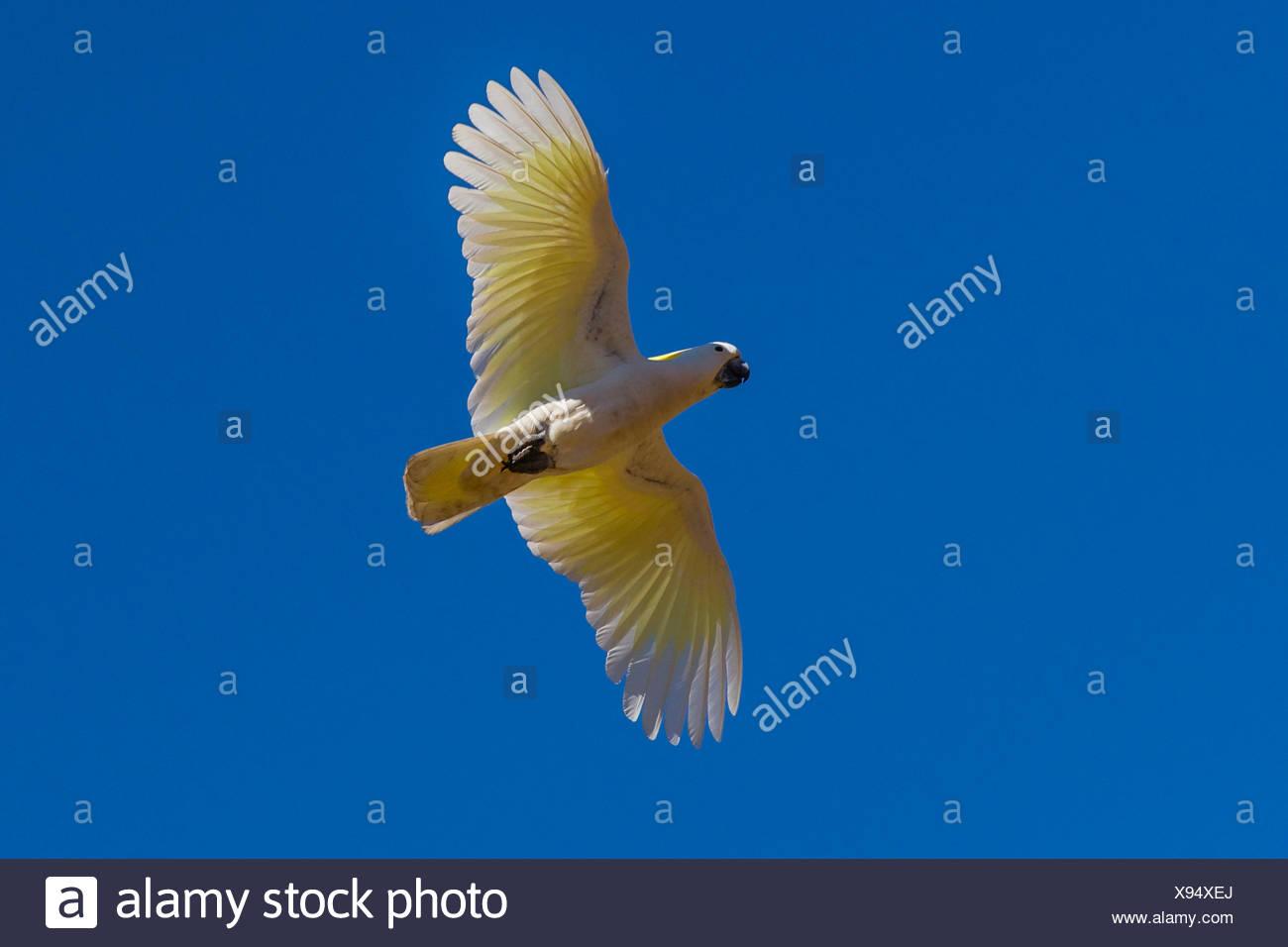 A Sulpher-crested Cockatoo (Cacatua galerita) in flight near Ord River in the Kimberley Region of Northwest Australia. - Stock Image