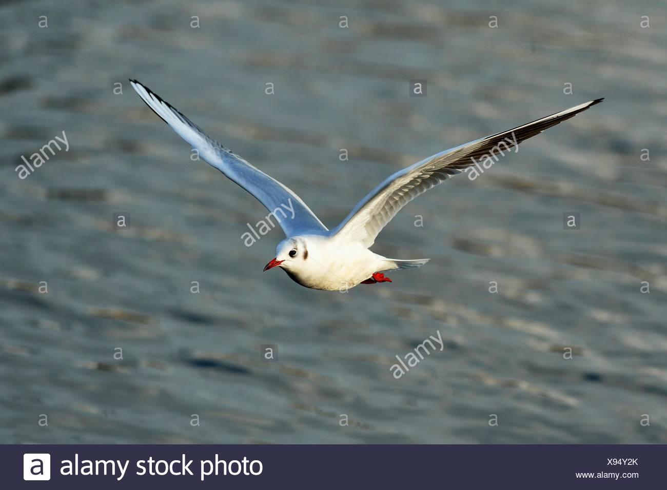 Black-headed Black-headed Gull (Chroicocephalus ridibundus, Larus ridibundus) in flight, Lake Zug, Canton of Zug, Switzerland Stock Photo