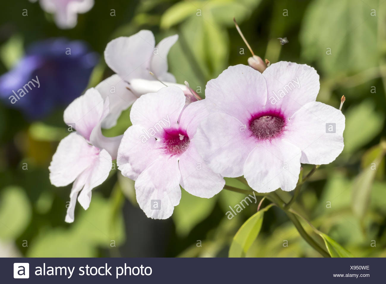 Pandorea jasminoides, australian plant Stock Photo