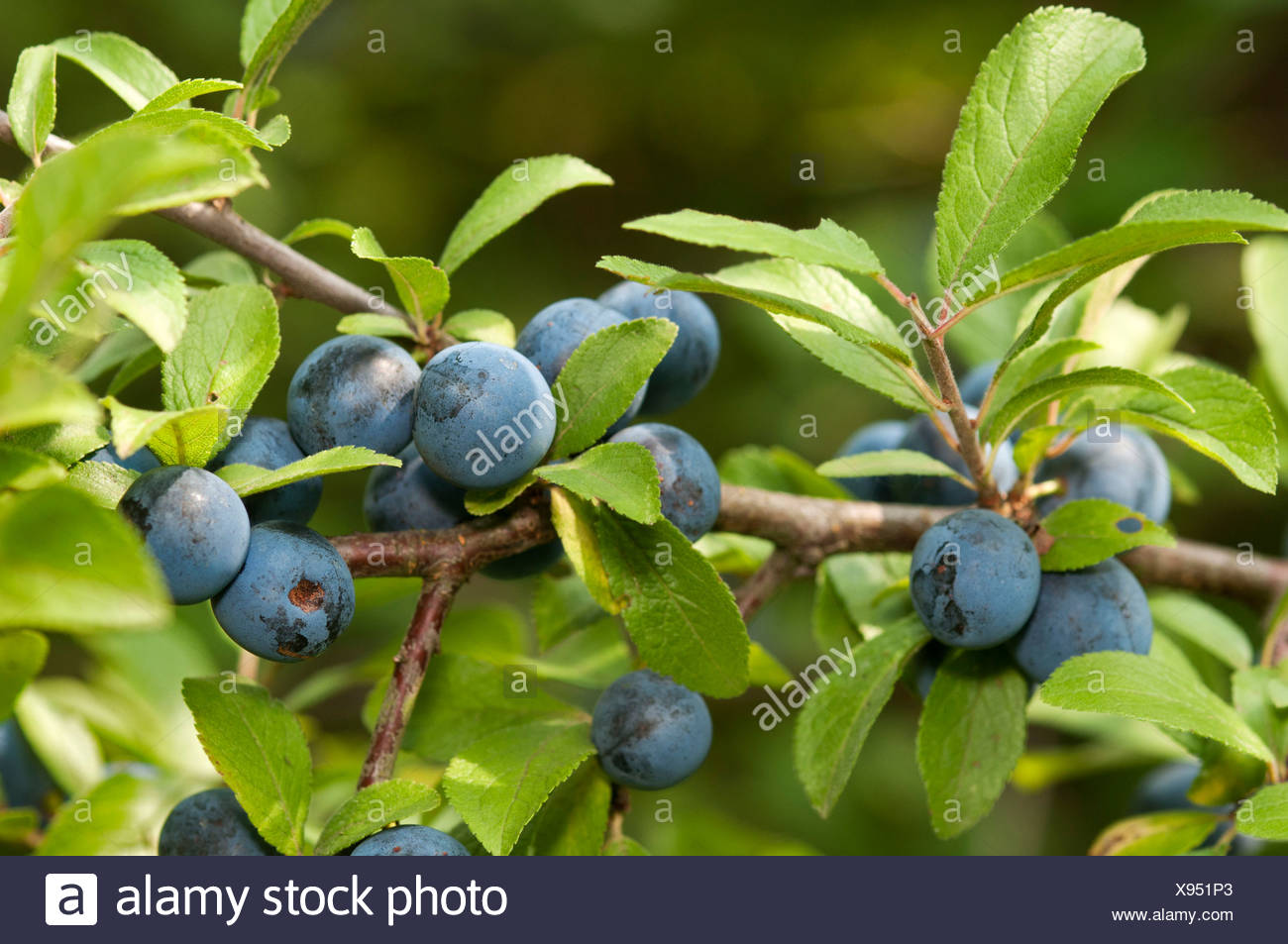 Fruit of the Sloe or Blackthorn (Prunus spinosa), Geneva, Genf, Switzerland - Stock Image
