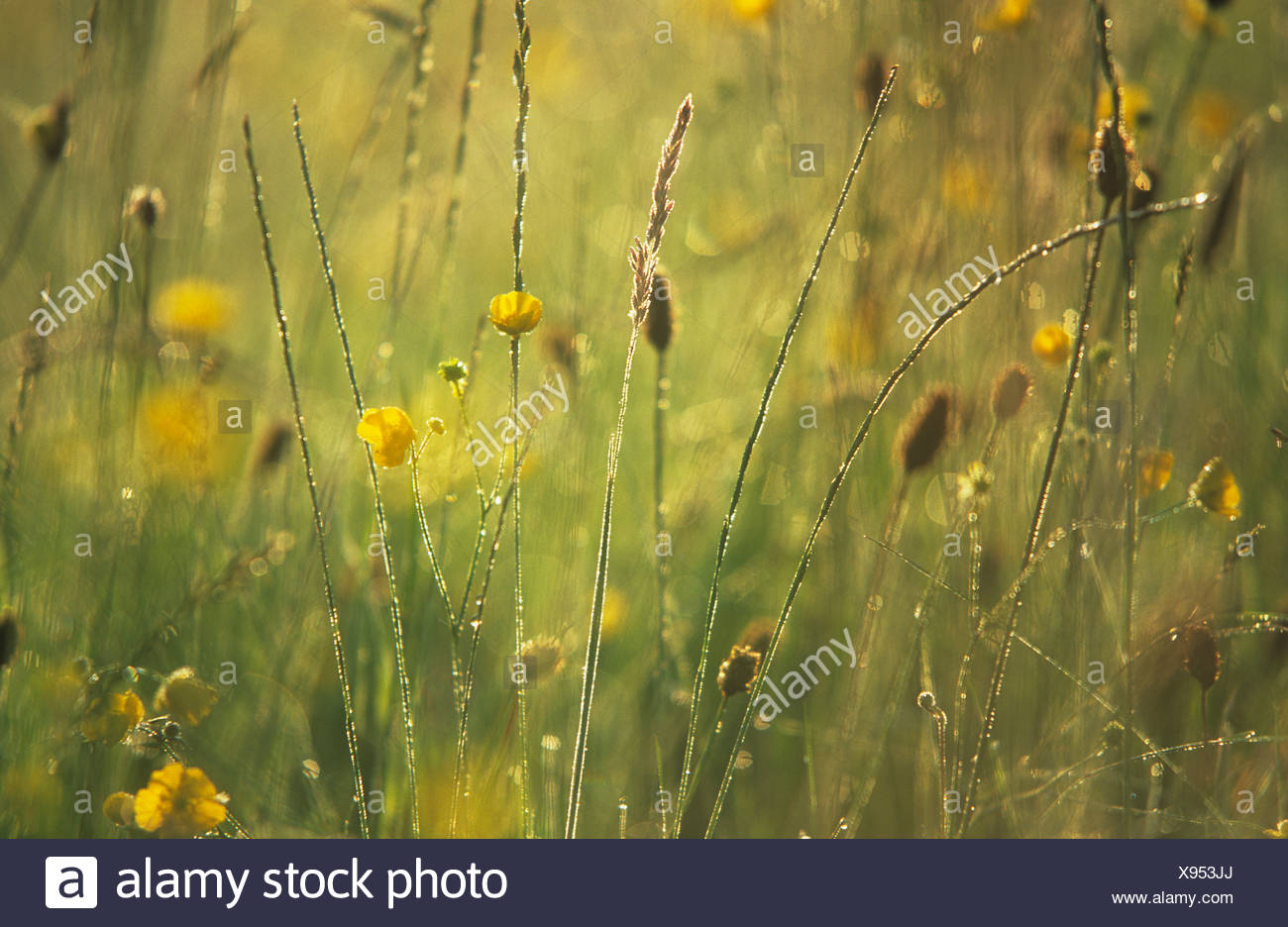 Upright grass seedheads on stems amongst yellow wild flowers in field. - Stock Image