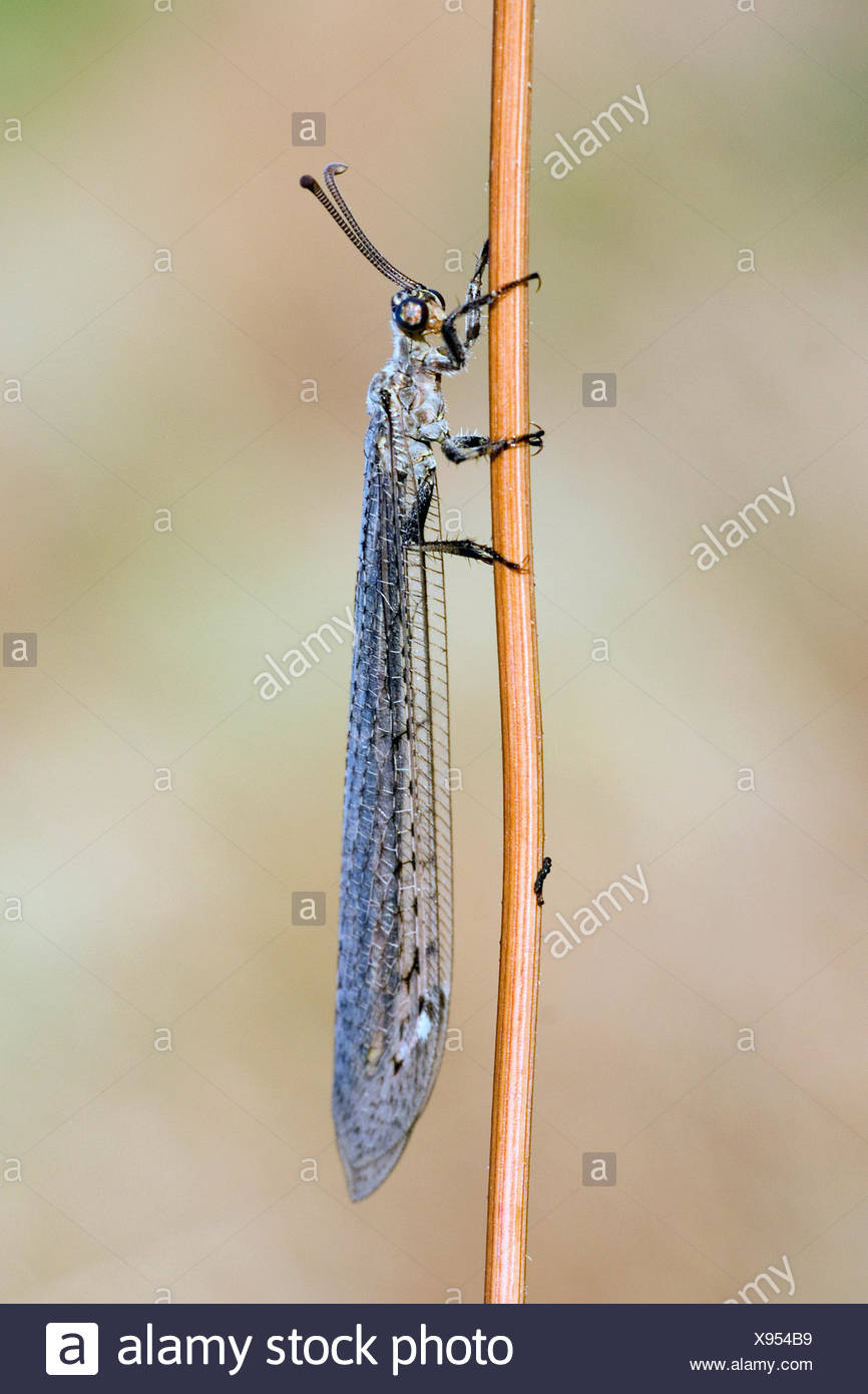 Antlion (Euroleon nostras), at a blade of grass, Germany - Stock Image