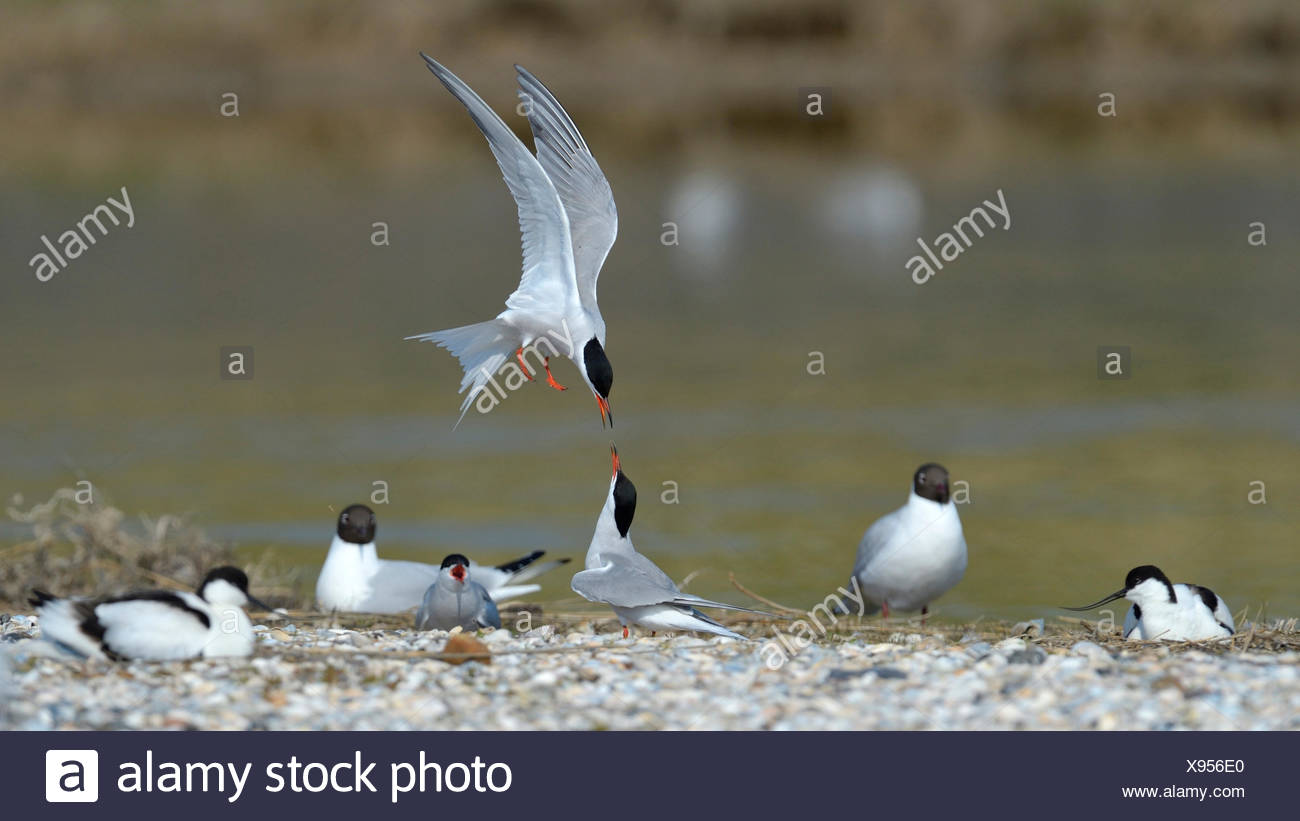Common tern (Sterna hirundo), terns quarreling for a nesting place in a mixed colony with avocets and a black-headed gull, Netherlands - Stock Image