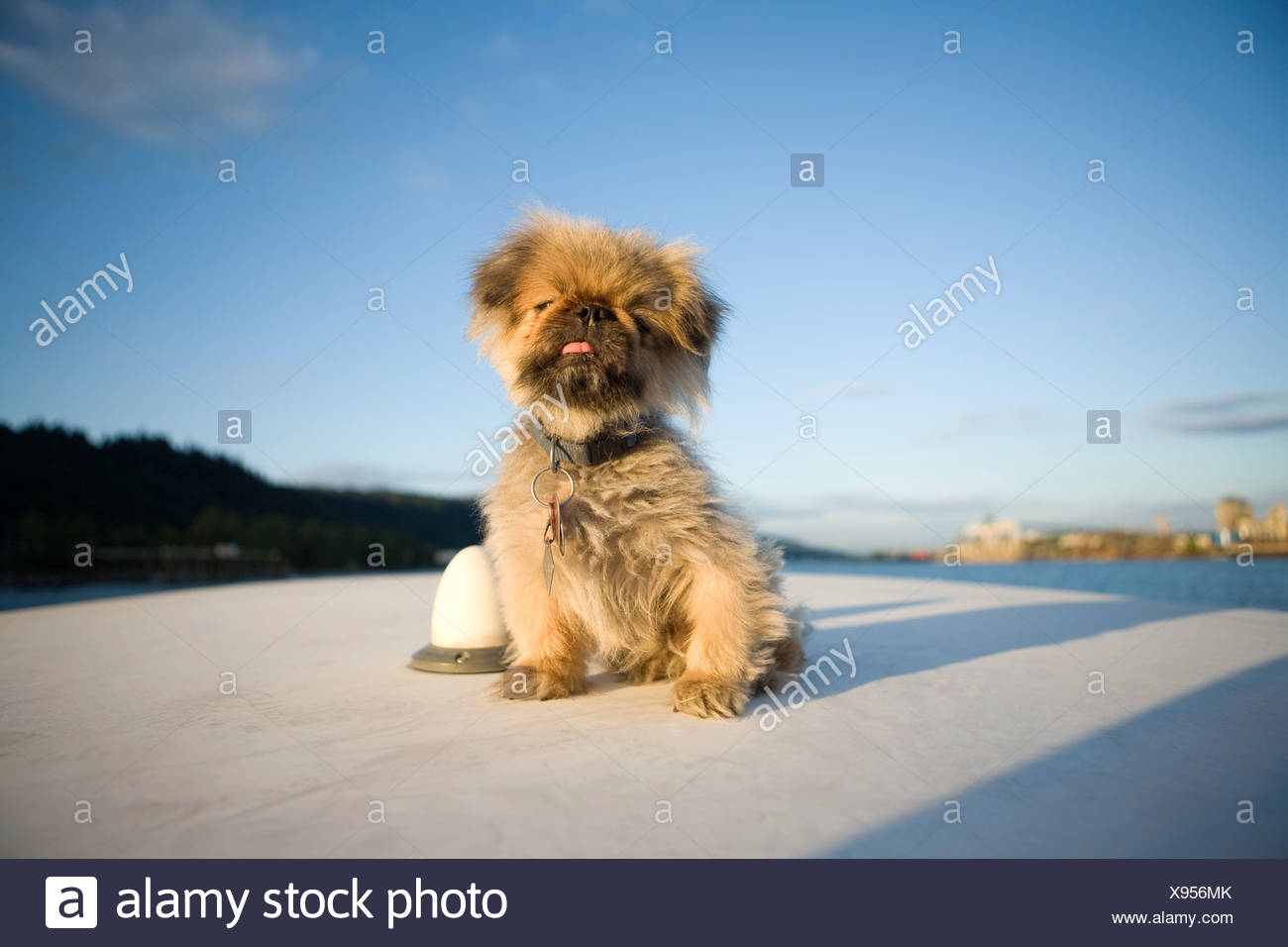 Portrait of small toy breed dog on deck of boat - Stock Image