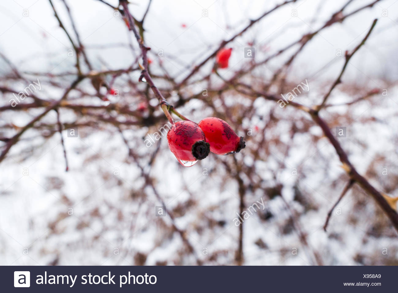 Twig, rose hips, snow, - Stock Image