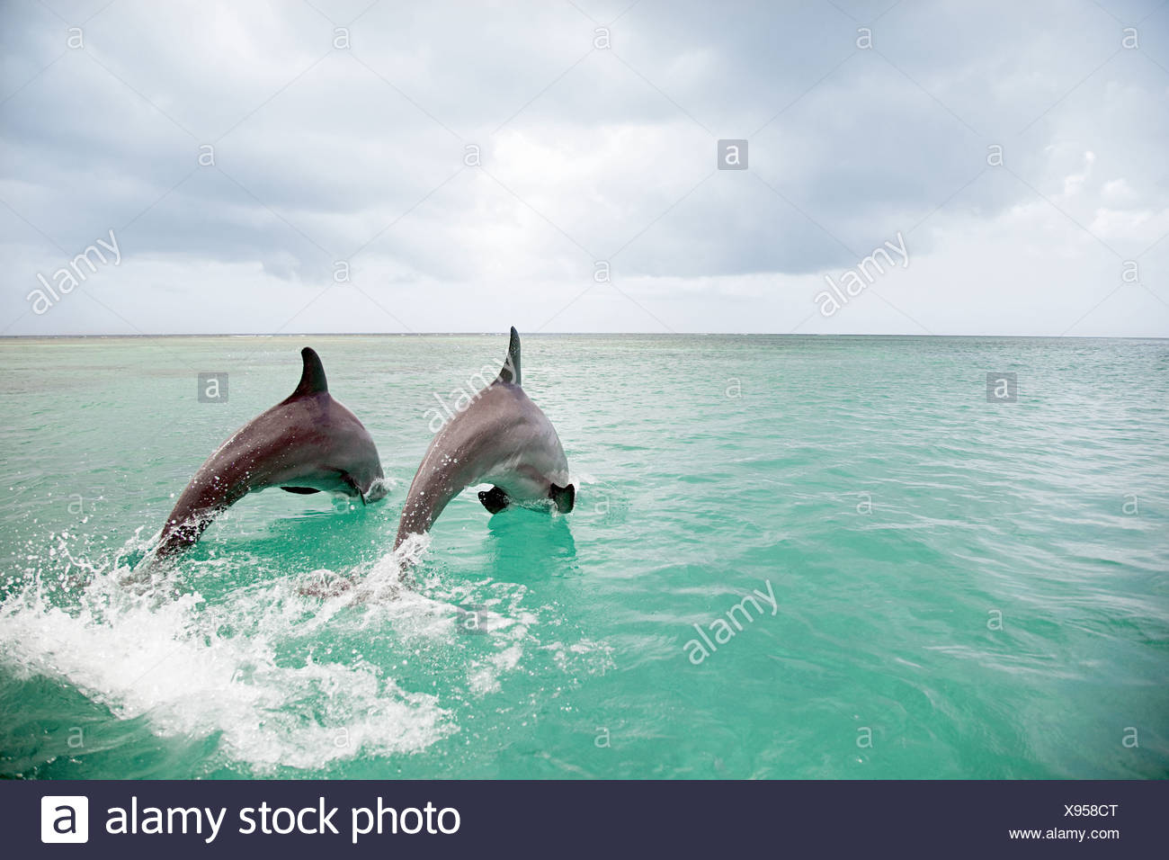 Bottlenose dolphins leaping into sea - Stock Image