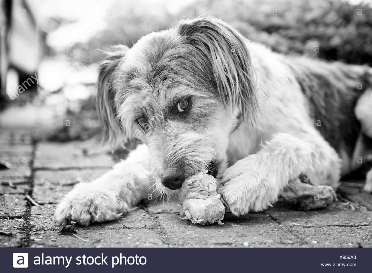 Dog gnawing on a bone - Stock Image