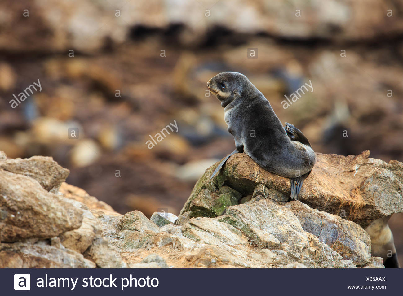 Once hunted nearly to extinction, a Northern Fur Seal pup is part of a fully recovering population on California's remote Farallon Islands. - Stock Image