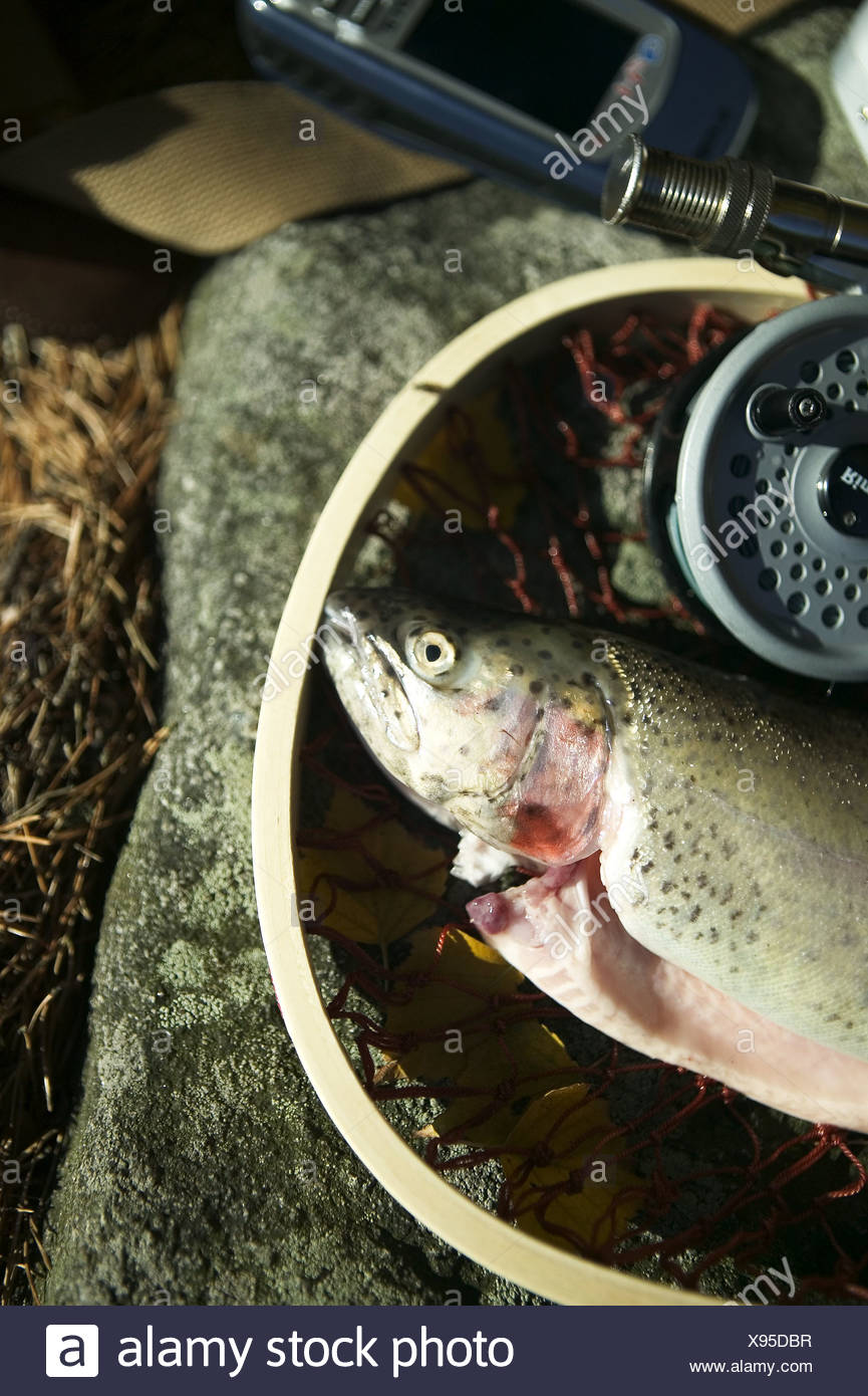 A gutted trout in a basket, a fishing pole beside it - Stock Image