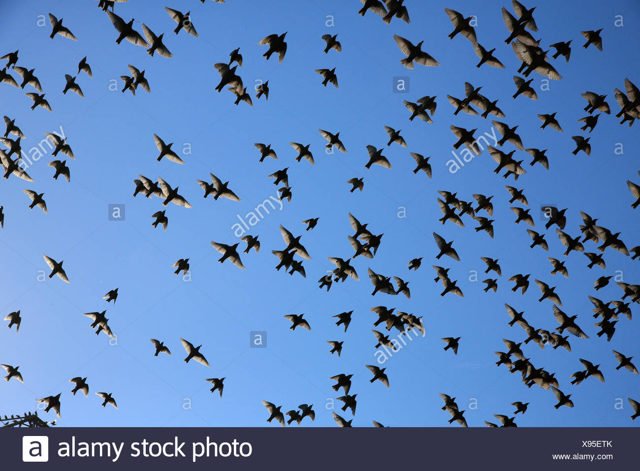 Common starlings (Sturnus vulgaris), swarm flying, migrating, Finsing, Bavaria, Germany Stock Photo