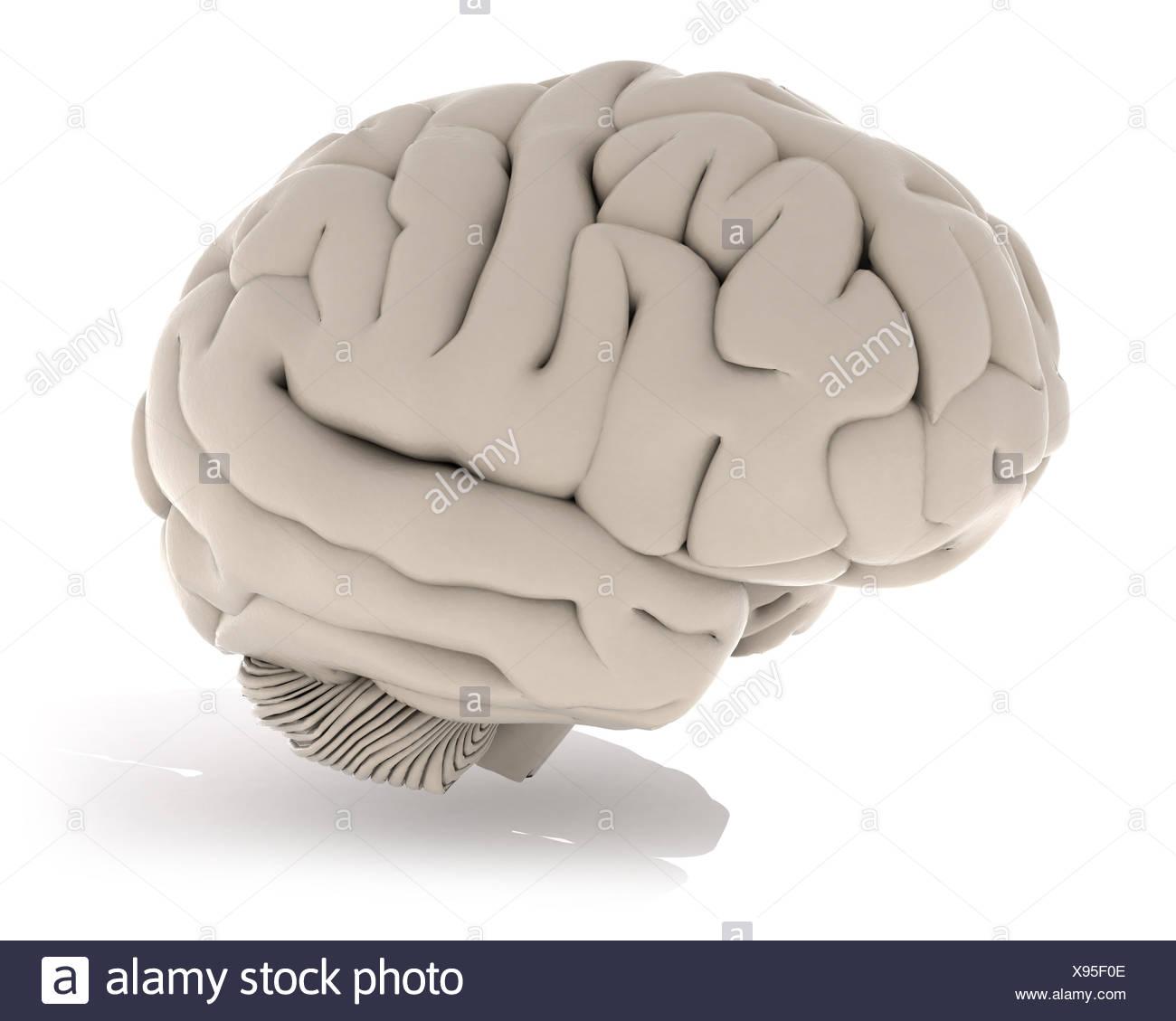 Illustration of a cerebrum - Stock Image