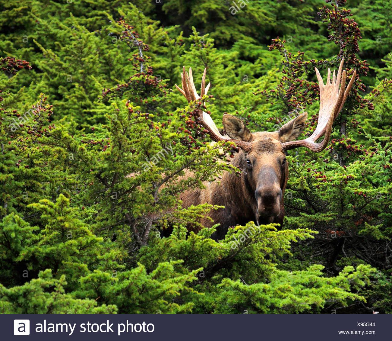 Alaska moose, Tundra moose, Yukon moose (Alces alces gigas), bull elk, USA, Alaska, Chugach State Park - Stock Image