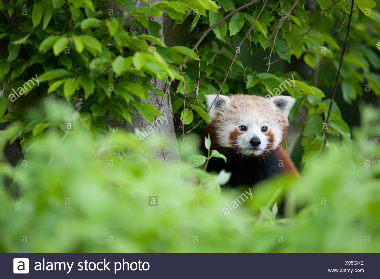 Red Panda, Ailurus fulgens, Captive, China, lesser panda and red cat-bear, is a small arboreal mammal native to the eastern Himalayas and southwestern Stock Photo