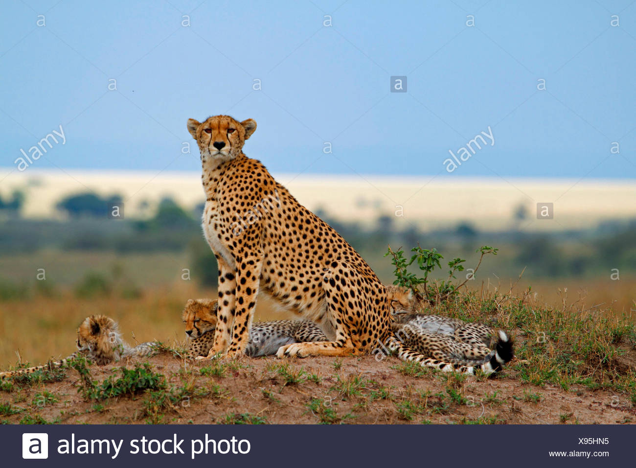 cheetah (Acinonyx jubatus), family on a small hill, Kenya, Masai Mara National Park - Stock Image