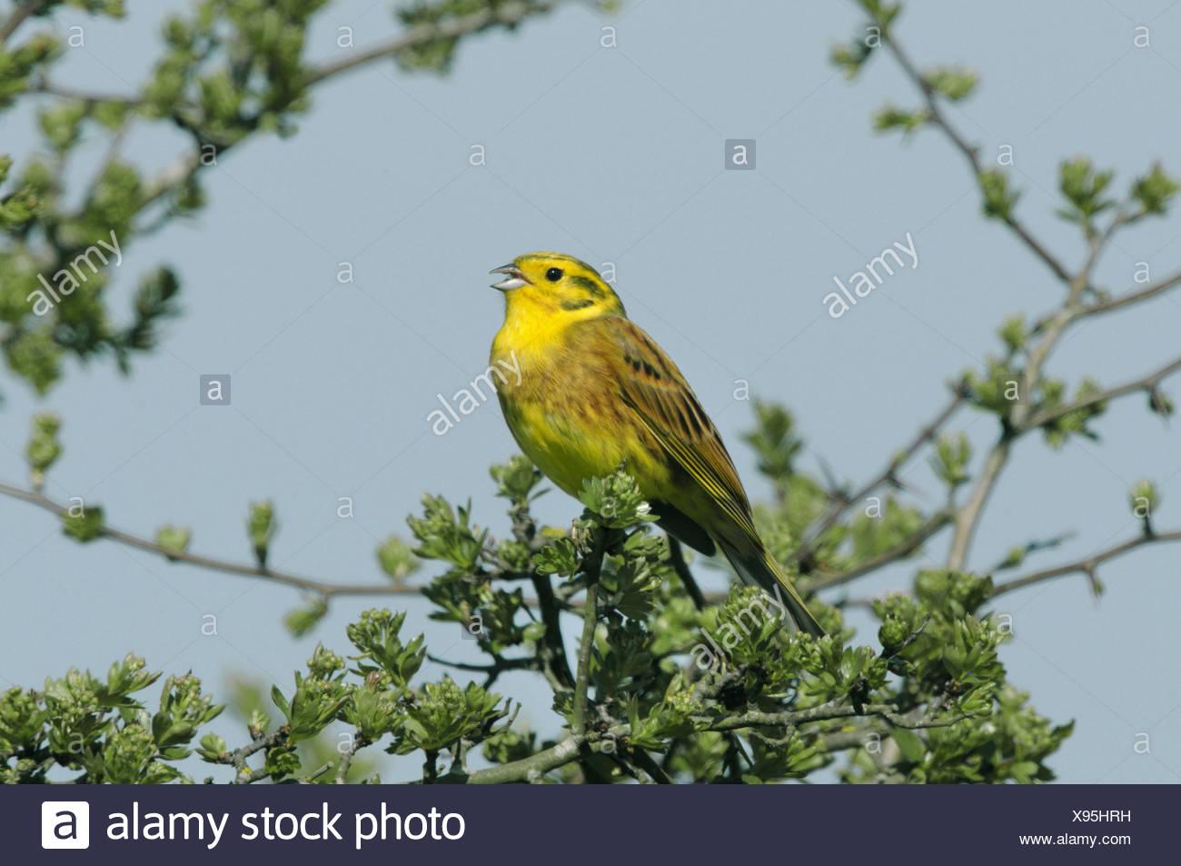 Yellowhammer Emberiza citrinella - Stock Image