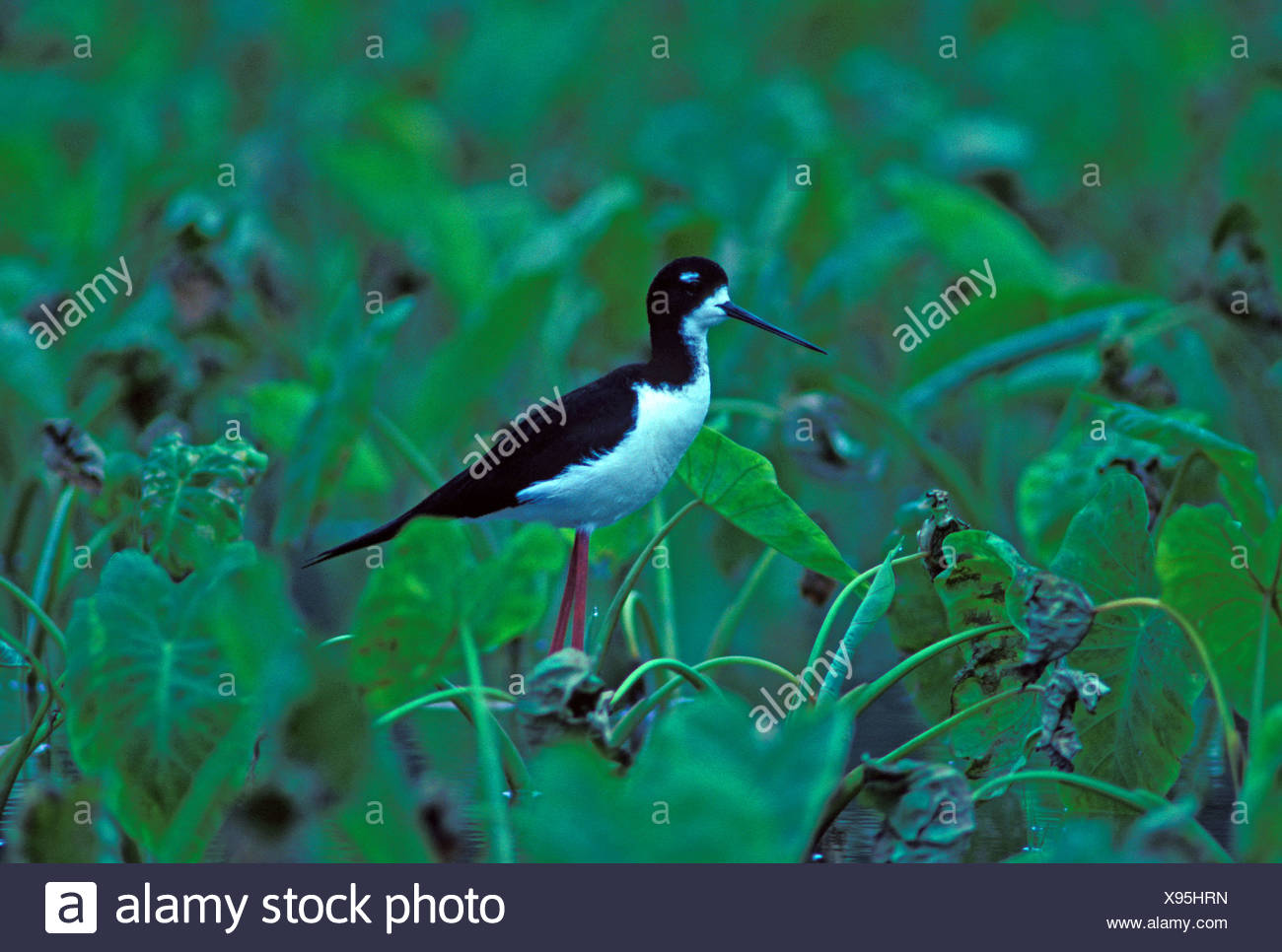 The endangered Hawaiian stilt or (ae o) in taro patch, (himantopus mexicanus knudsent). - Stock Image