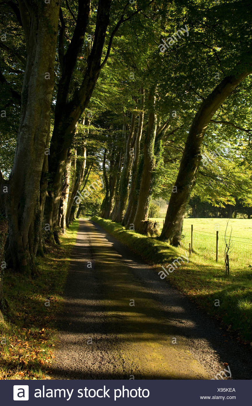 Northern Ireland, Fermanagh, Lakelands, Monea, lane lined with Beech trees - Stock Image