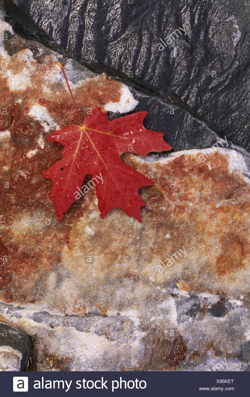 A rich red autumn maple leaf, laid on a flat rock covered with brown lichen. - Stock Image