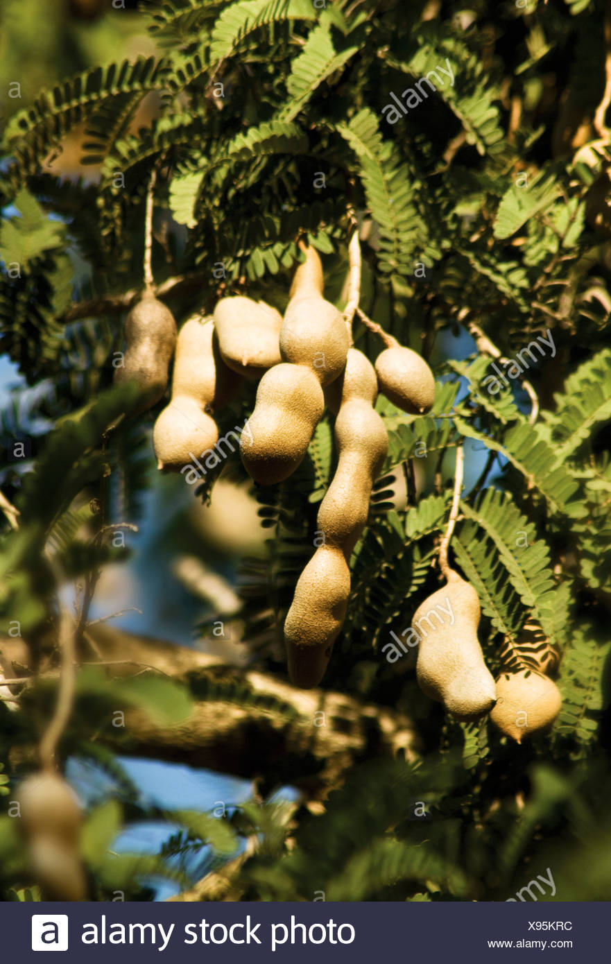 Tamarindus indica, Tamarind fruit pods growing on a tree. Stock Photo