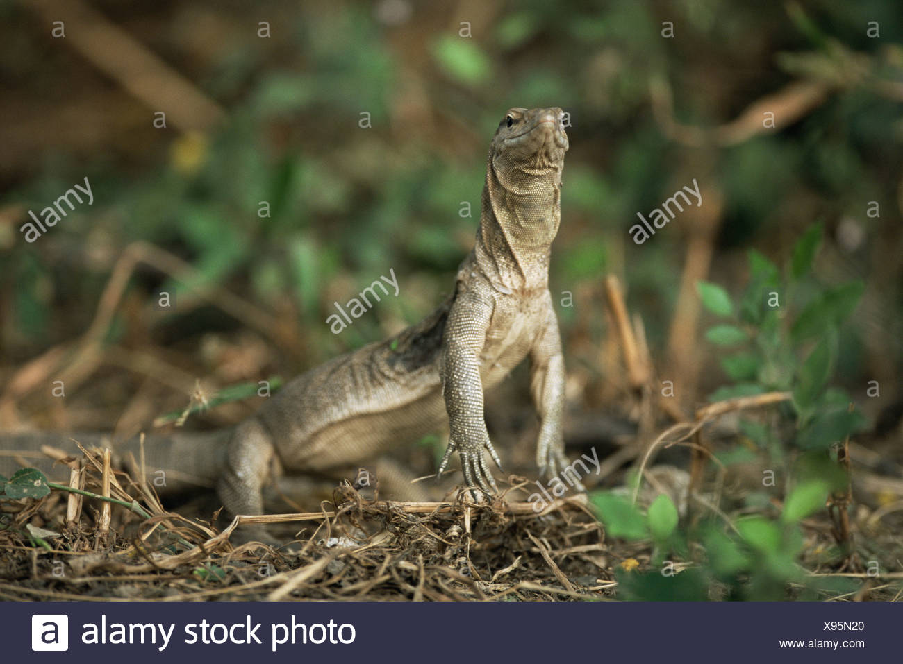 Bengal monitor lizard Varanus benghalensis Keoladeo Ghana NP Bharatpur India - Stock Image