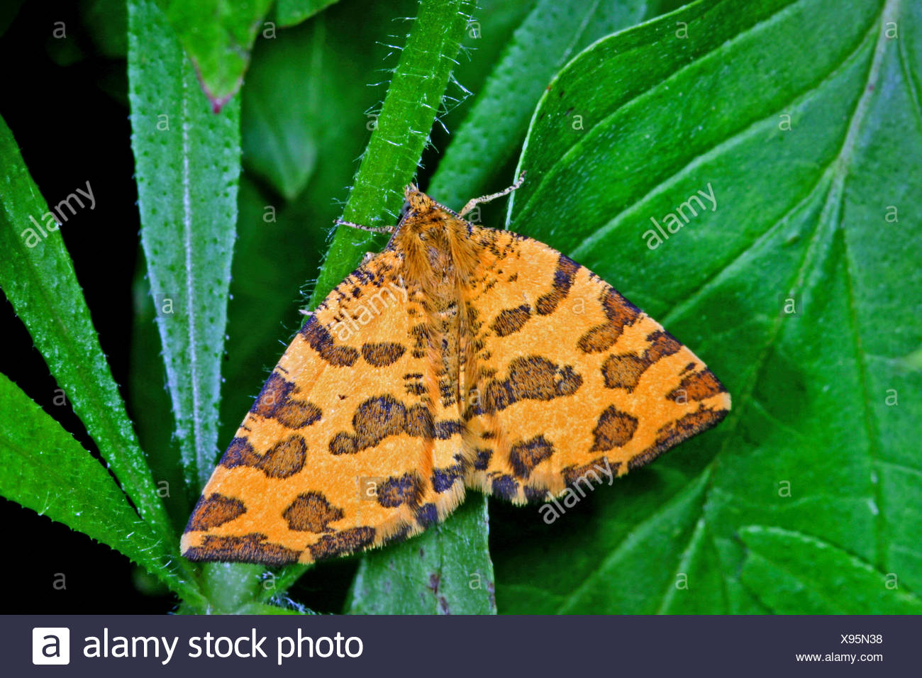 Speckled Yellow (Pseudopanthera macularia), on a leaf, Germany - Stock Image