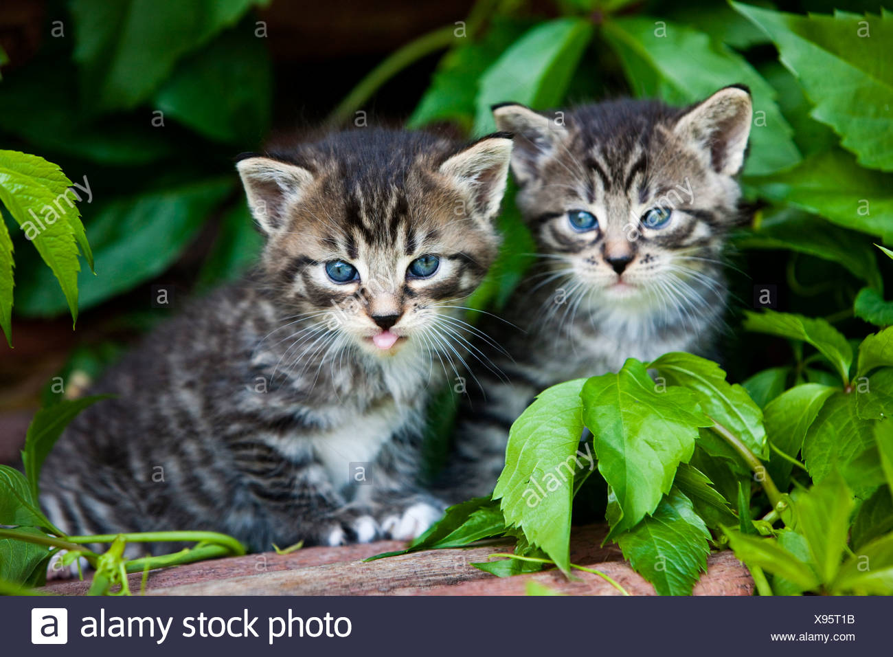 Two grey tabby domestic cats, kittens, North Tyrol, Austria, Europe Stock Photo