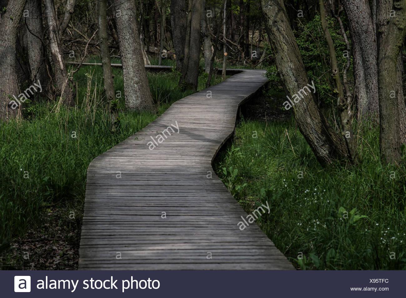 Boardwalk through the forest, Born am Darß, Fischland-Darß-Zingst, Mecklenburg-Western Pomerania, Germany - Stock Image