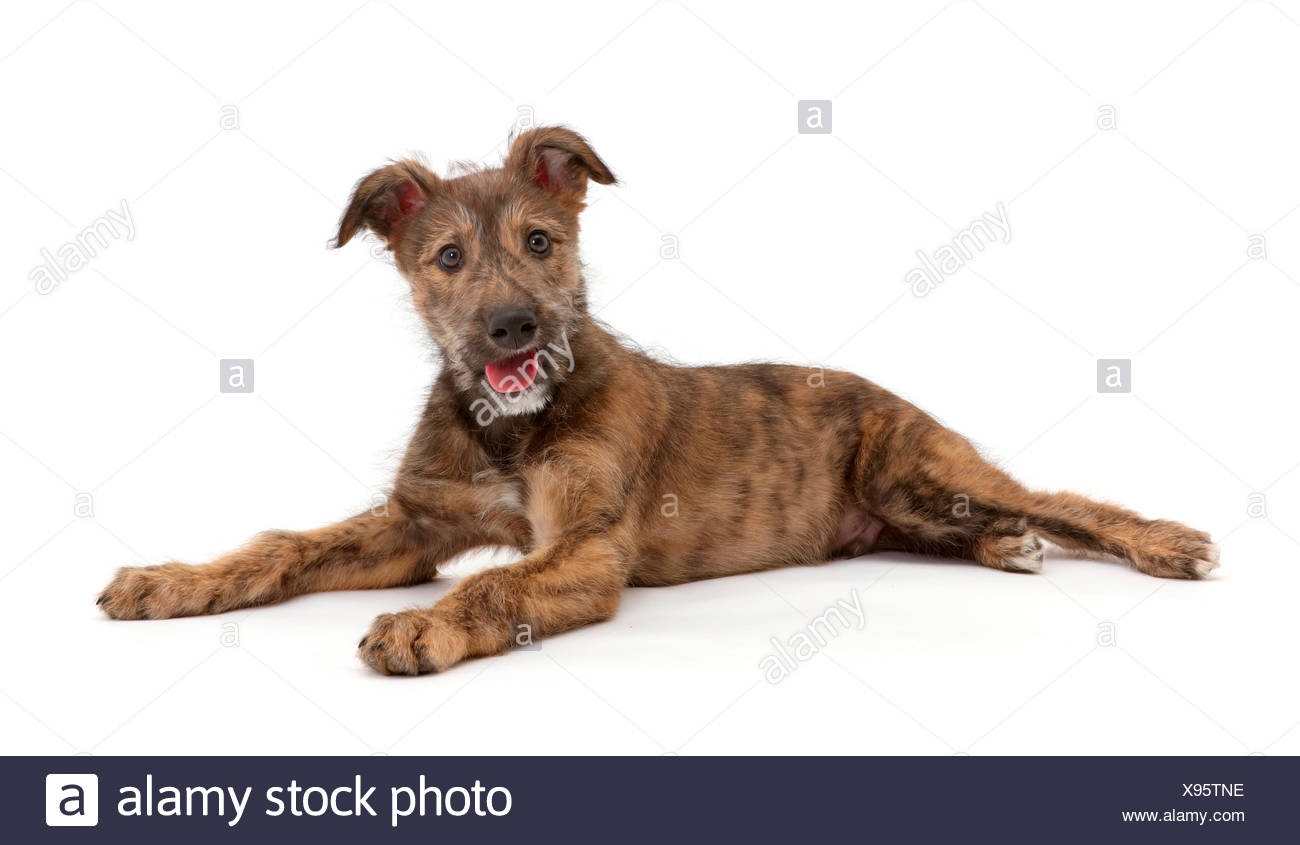 Brindle Lurcher dog puppy lying. - Stock Image