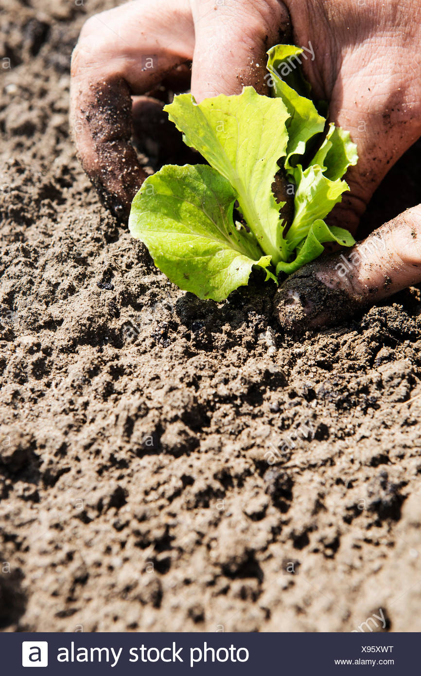Farmer planting seedling in soil - Stock Image