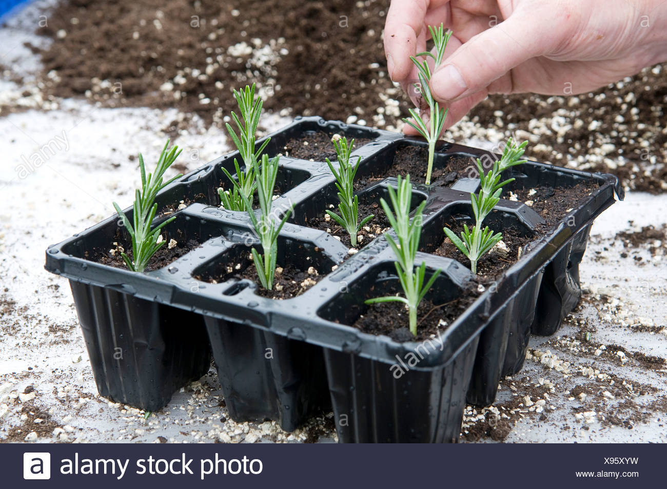 Inserting rosemary cuttings in seedling tray - Stock Image