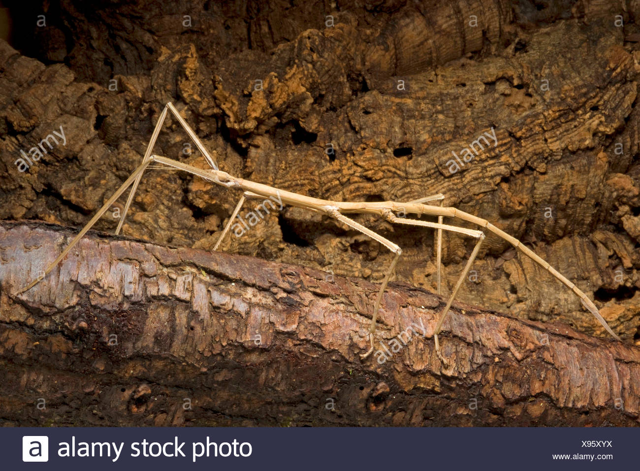 Giant stick insect (Phobaeticus magnus), on a branch Stock Photo