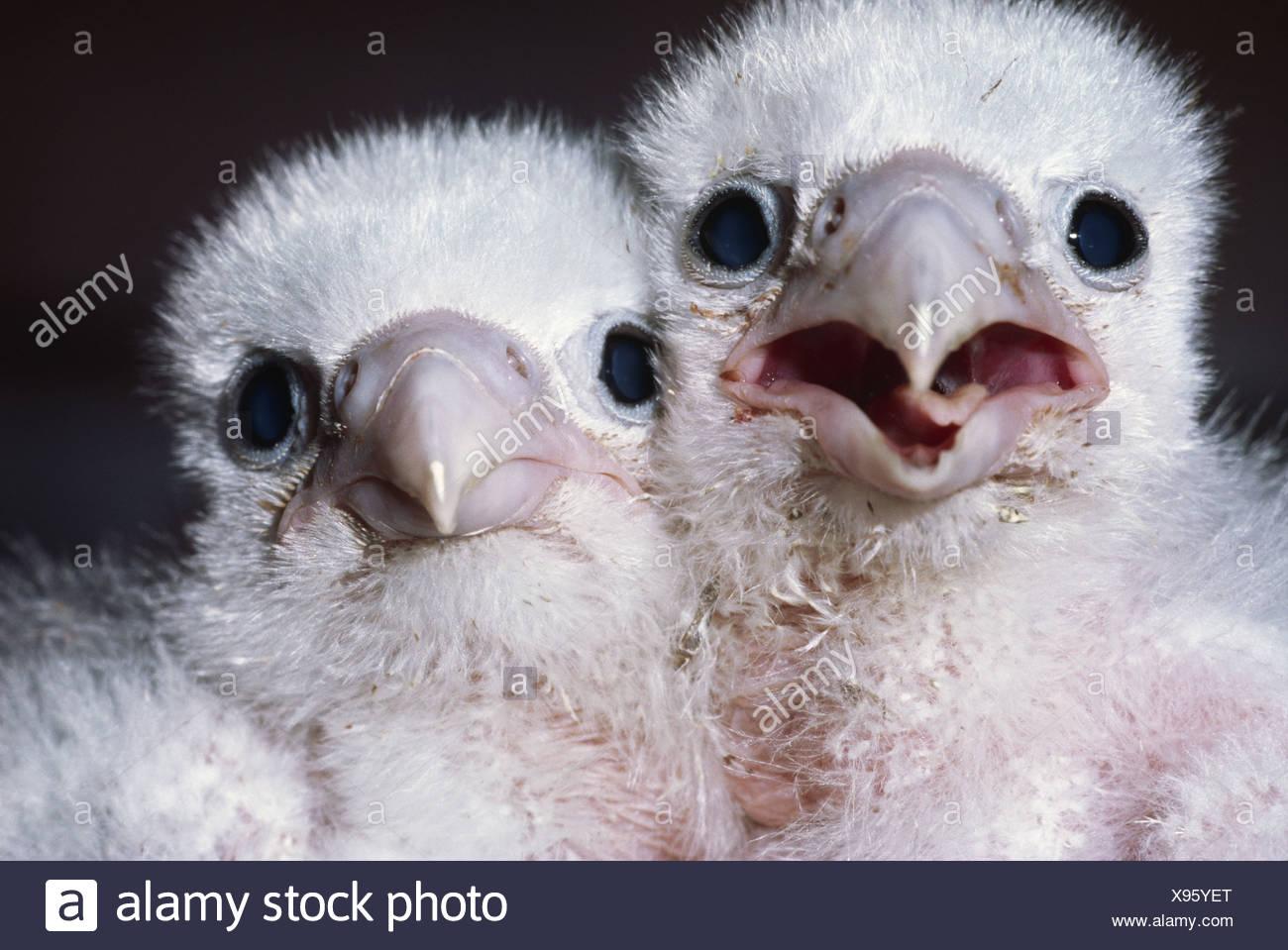 California USA Peregrine falcon chicks Falco peregrinus USA - Stock Image
