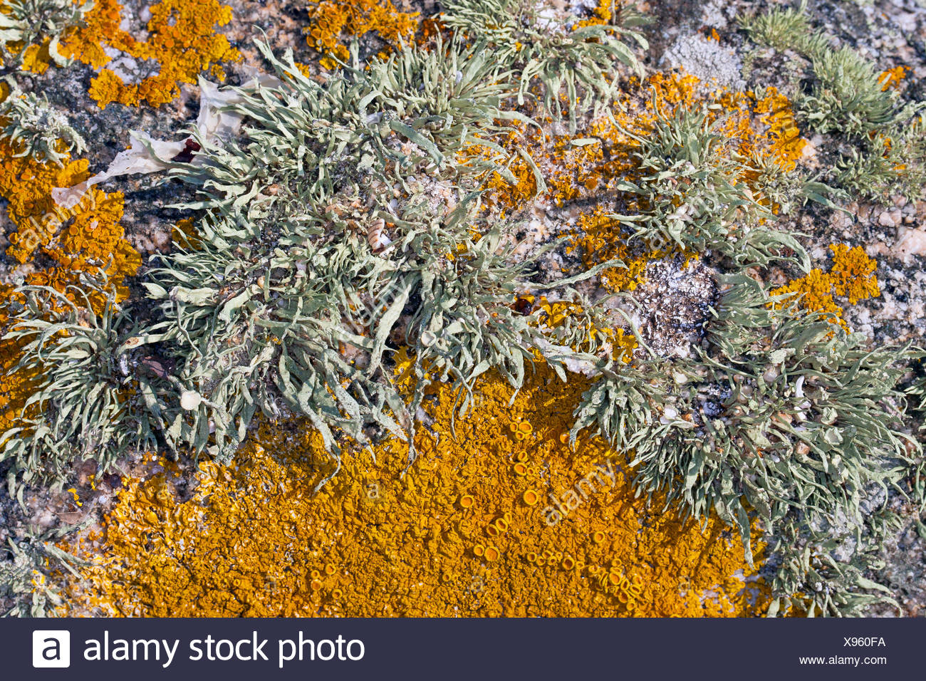 Sea ivory (Ramalina cf. siliquosa), Sea Ivory Lichen on rocks and stone walls on coastland, Germany - Stock Image