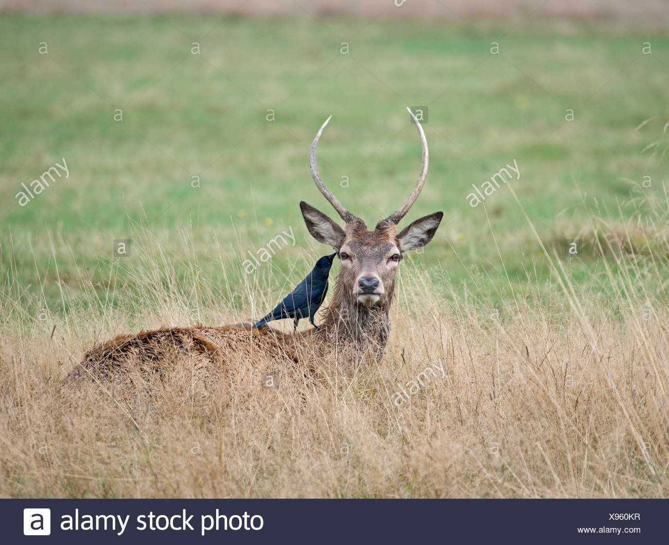 Red Deer (Cervus elaphus) young stag with attendant Jackdaws searching for ticks Richmond Park London - Stock Image