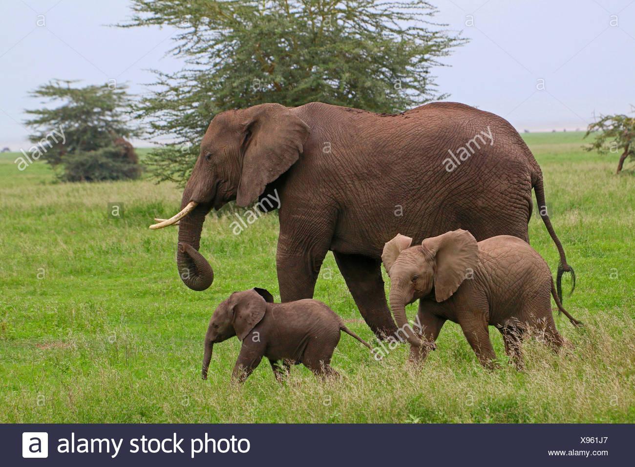 African elephant (Loxodonta africana), cow elephant with two calves , Tanzania, Serengeti National Park - Stock Image