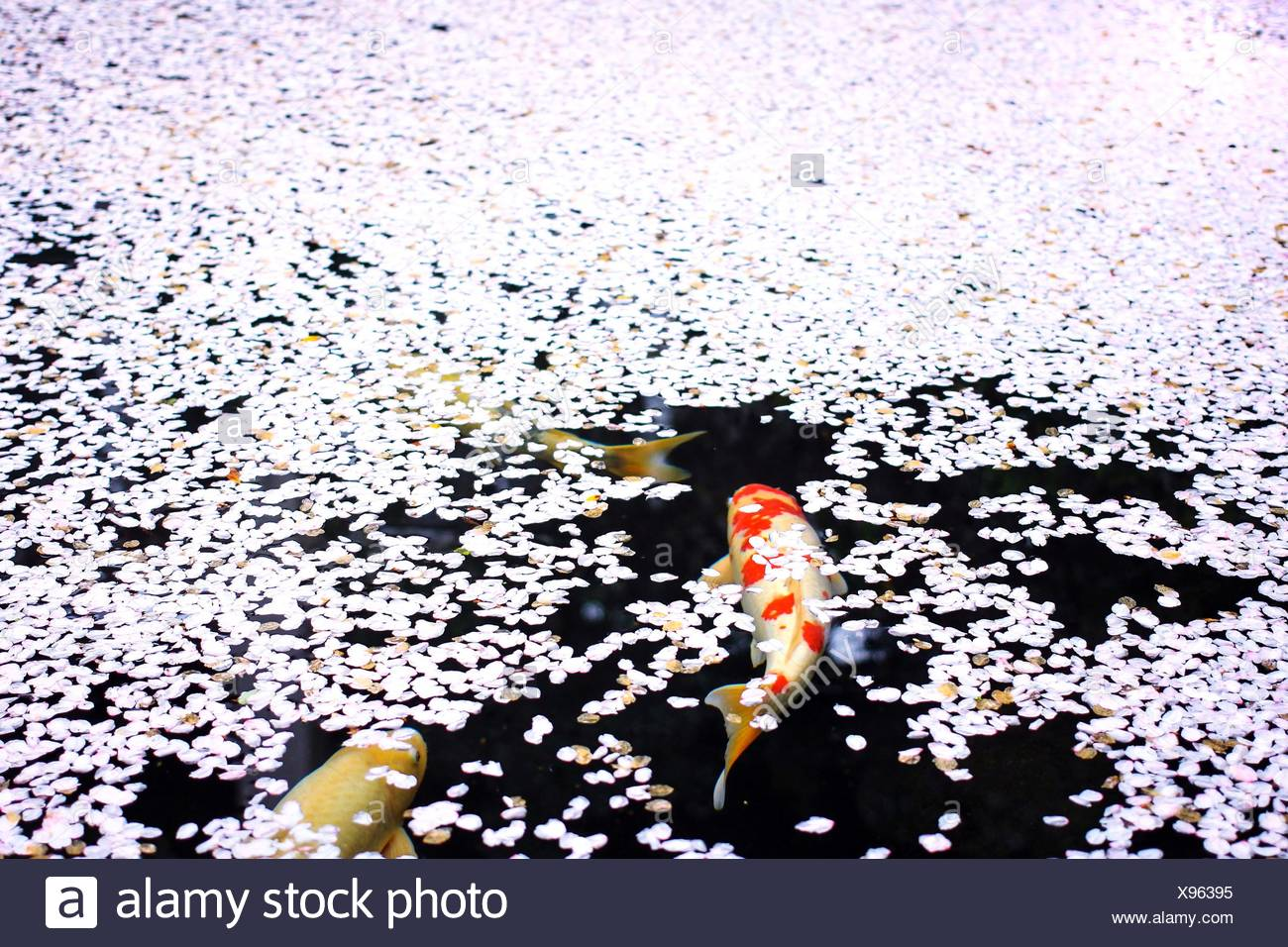 High Angle View Of Koi Fish In Pond - Stock Image