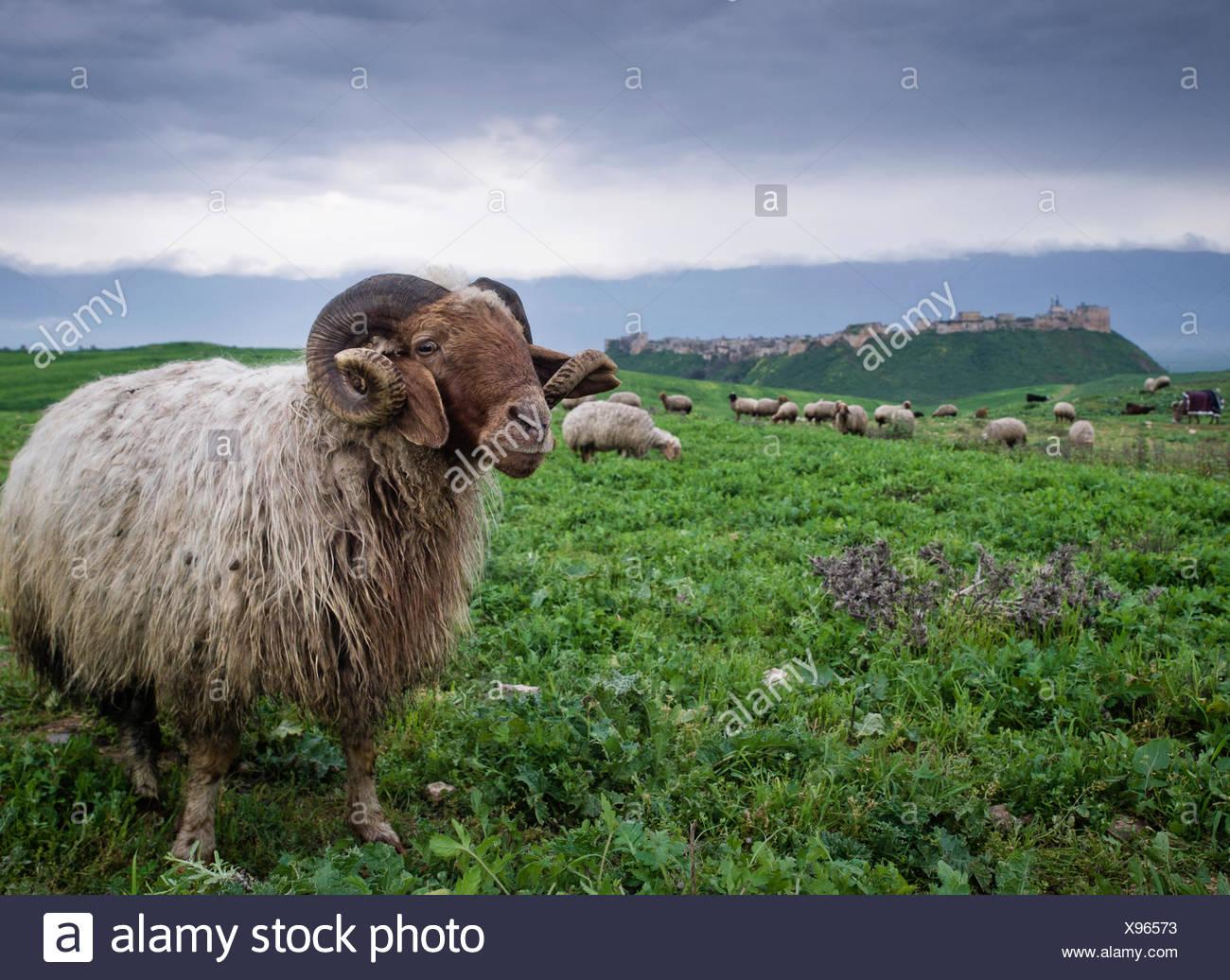 Flock of sheep, Qalaat al-Madiq, Hama, Syria - Stock Image