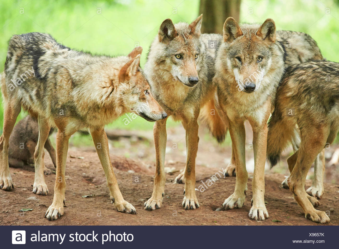 European gray wolf (Canis lupus lupus), pack of wolves in a forest, Germany, Bavaria - Stock Image