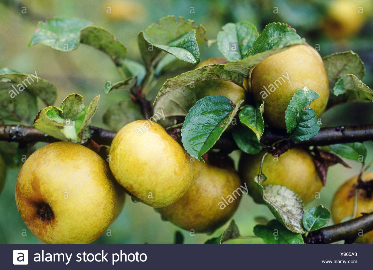 ´Reineta´ apples - Stock Image