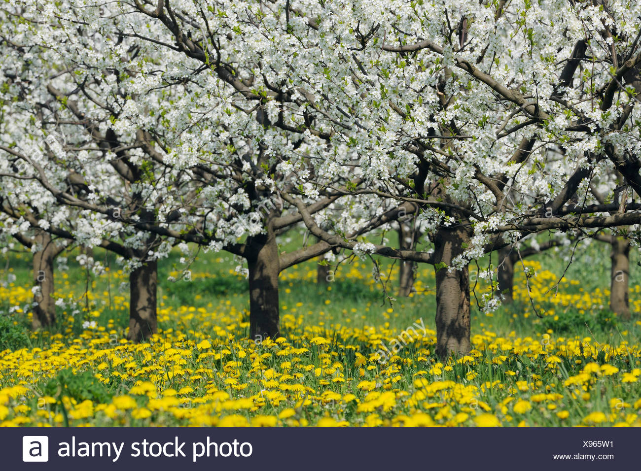 Germany, Bavaria, Row of cherry trees in orchid - Stock Image