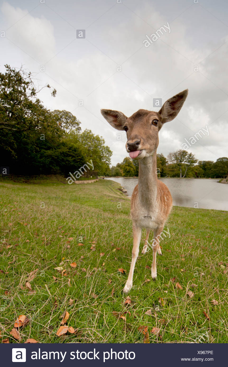 a deer sticking it's tongue out - Stock Image