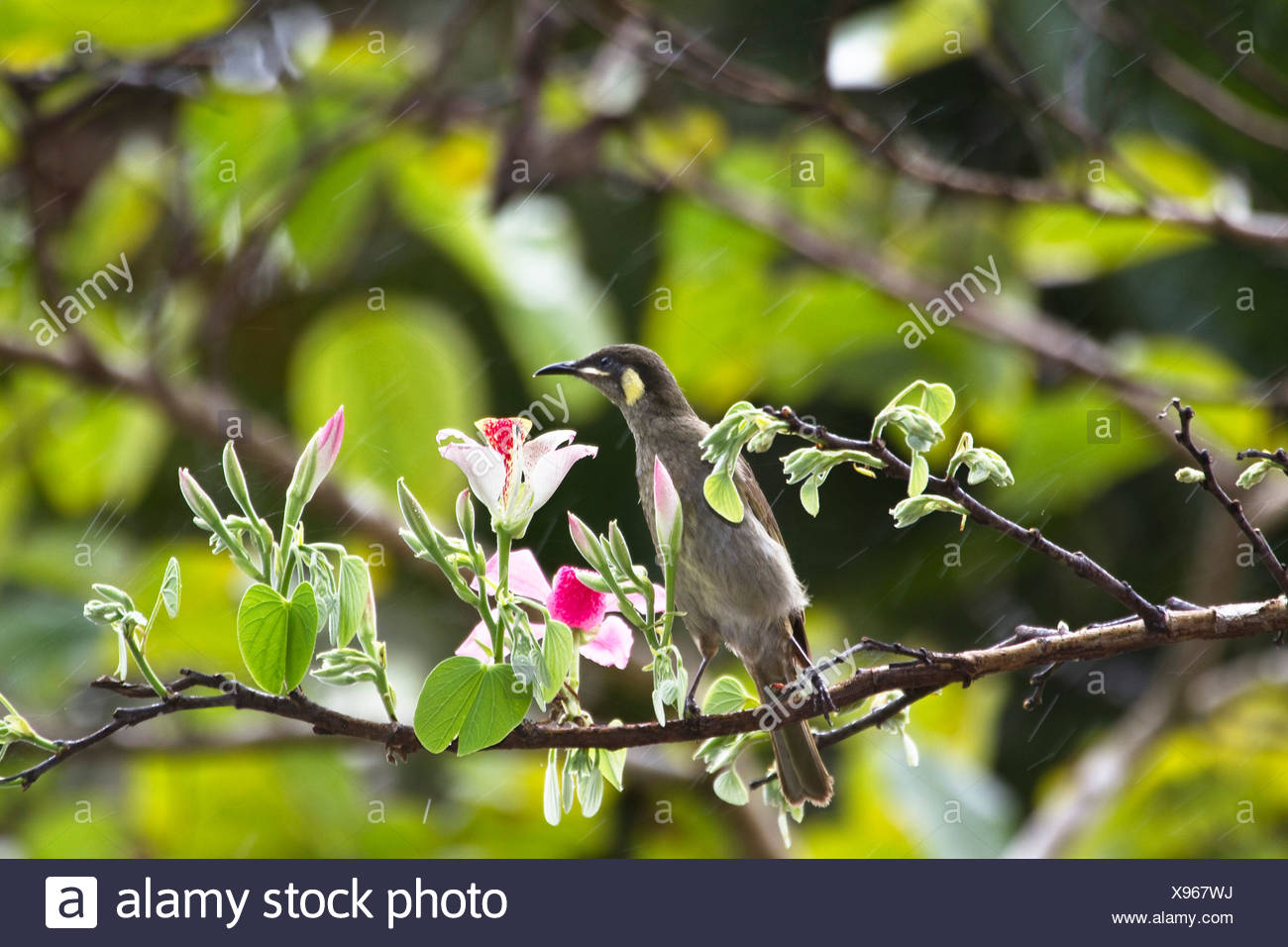 lesser lewin honeyeater (Meliphaga notata), sitting on a blooming branch, Australia, Queensland, Daintree National Park - Stock Image