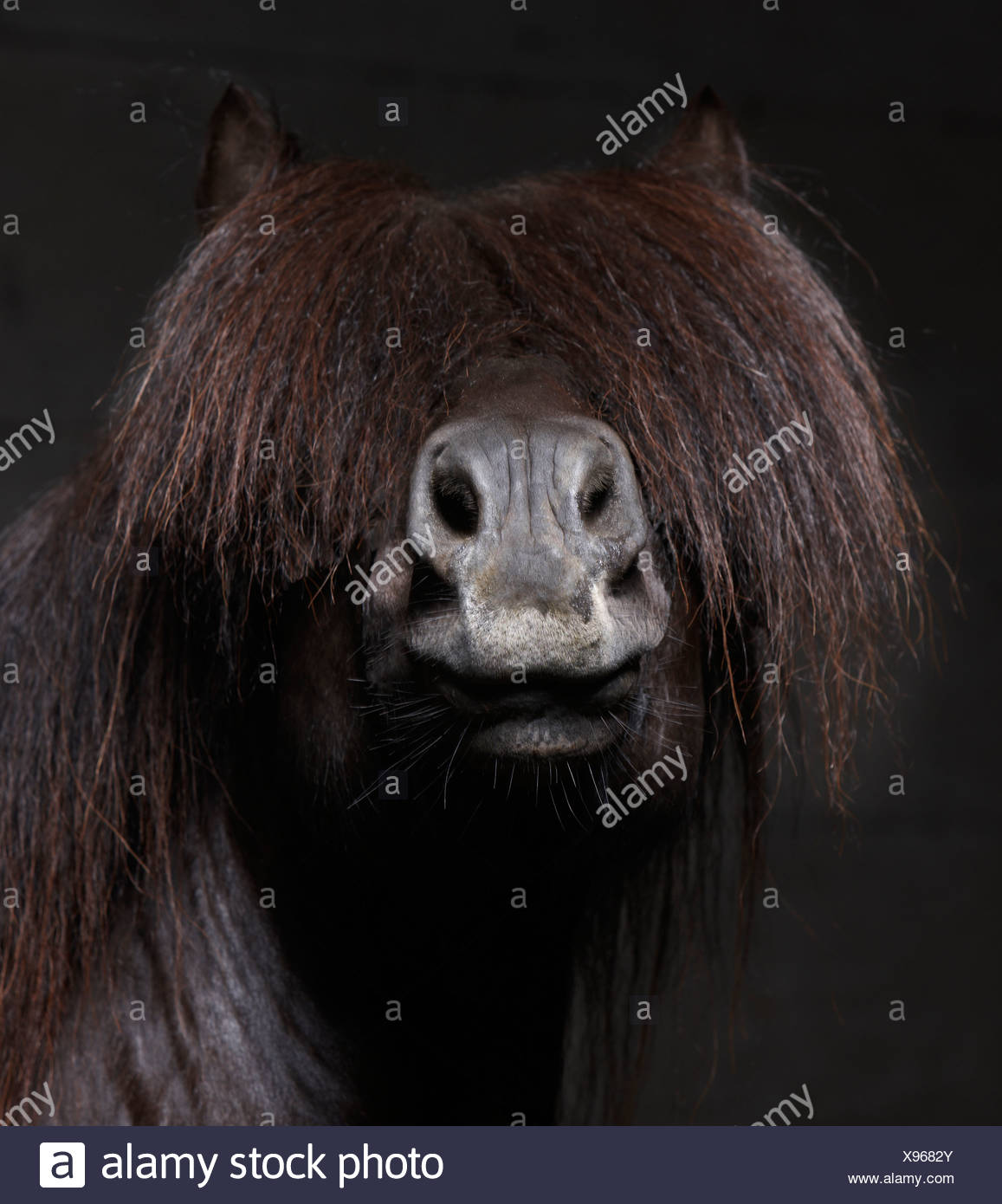 Pure Breed Icelandic Stallion with Mane over Eyes, Iceland - Stock Image