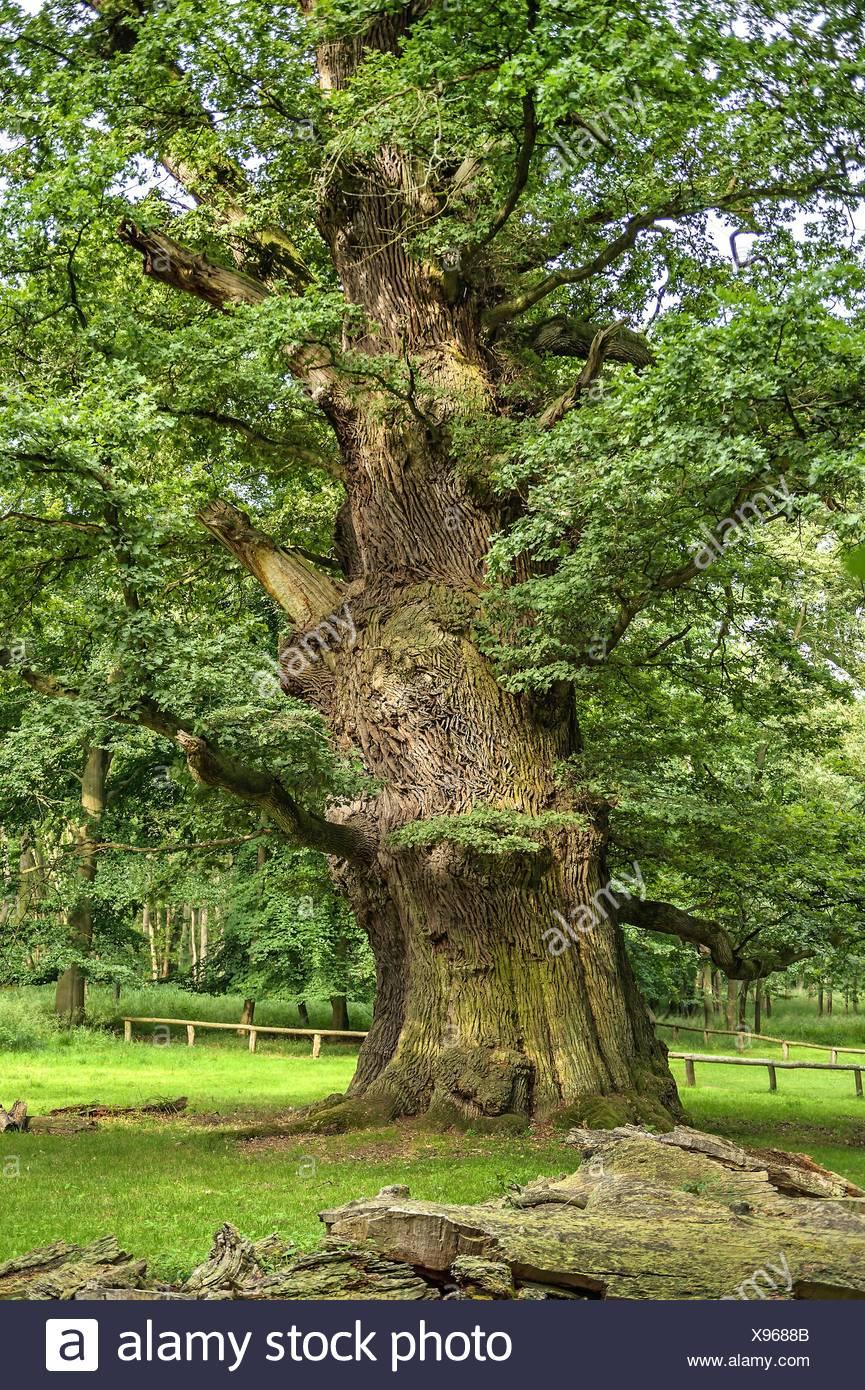 common oak, pedunculate oak, English oak (Quercus robur), Ivenacker oak, Germany, Mecklenburg-Western Pomerania, Ivenacker Eichen Stock Photo