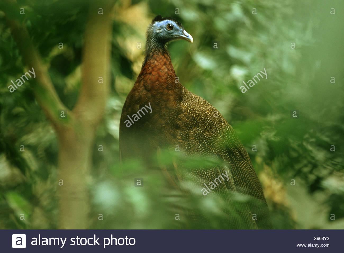 great argus pheasant (Argusianus argus), male sitting in a bush Stock Photo