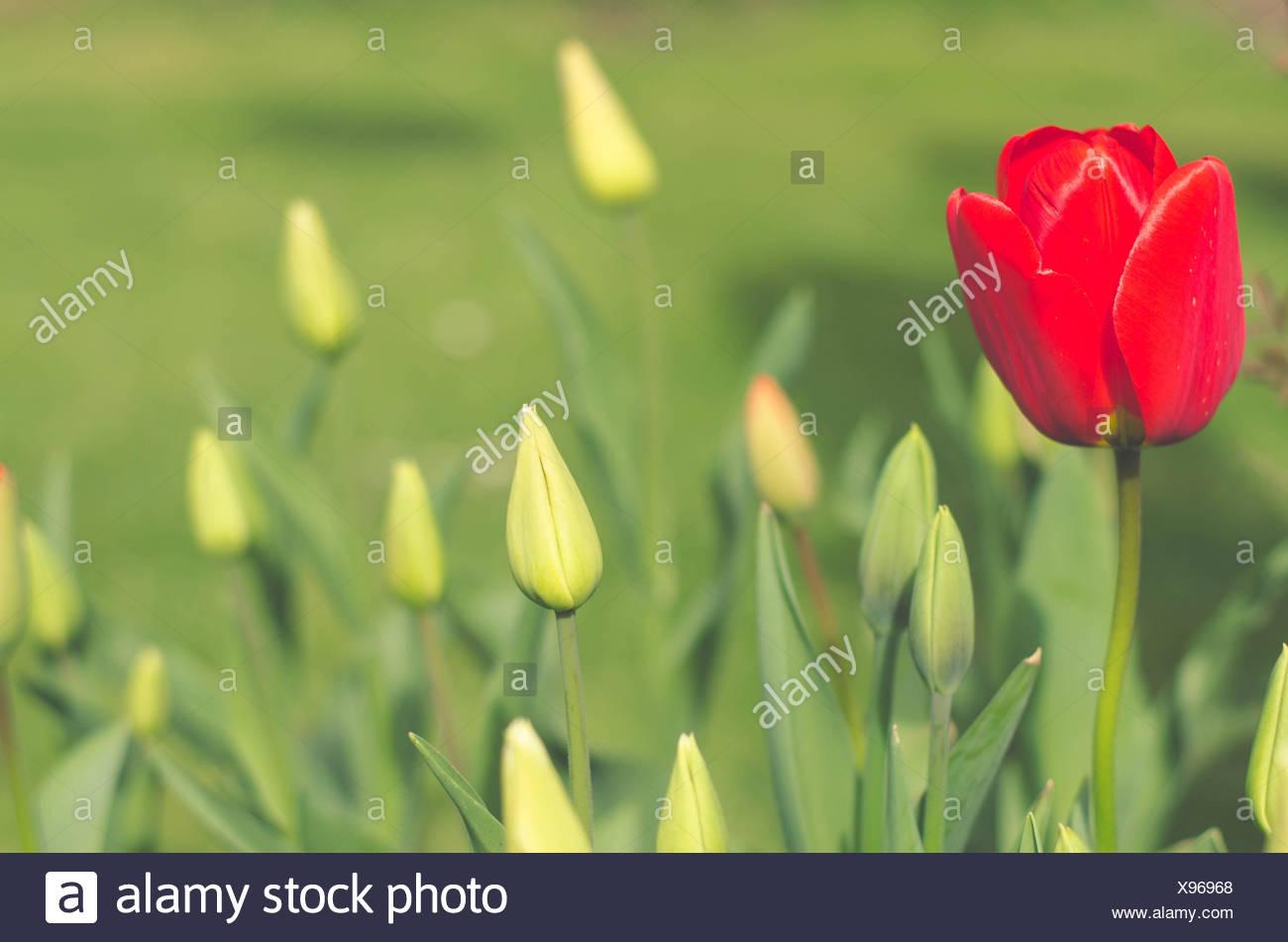 Red tulip flower - Stock Image