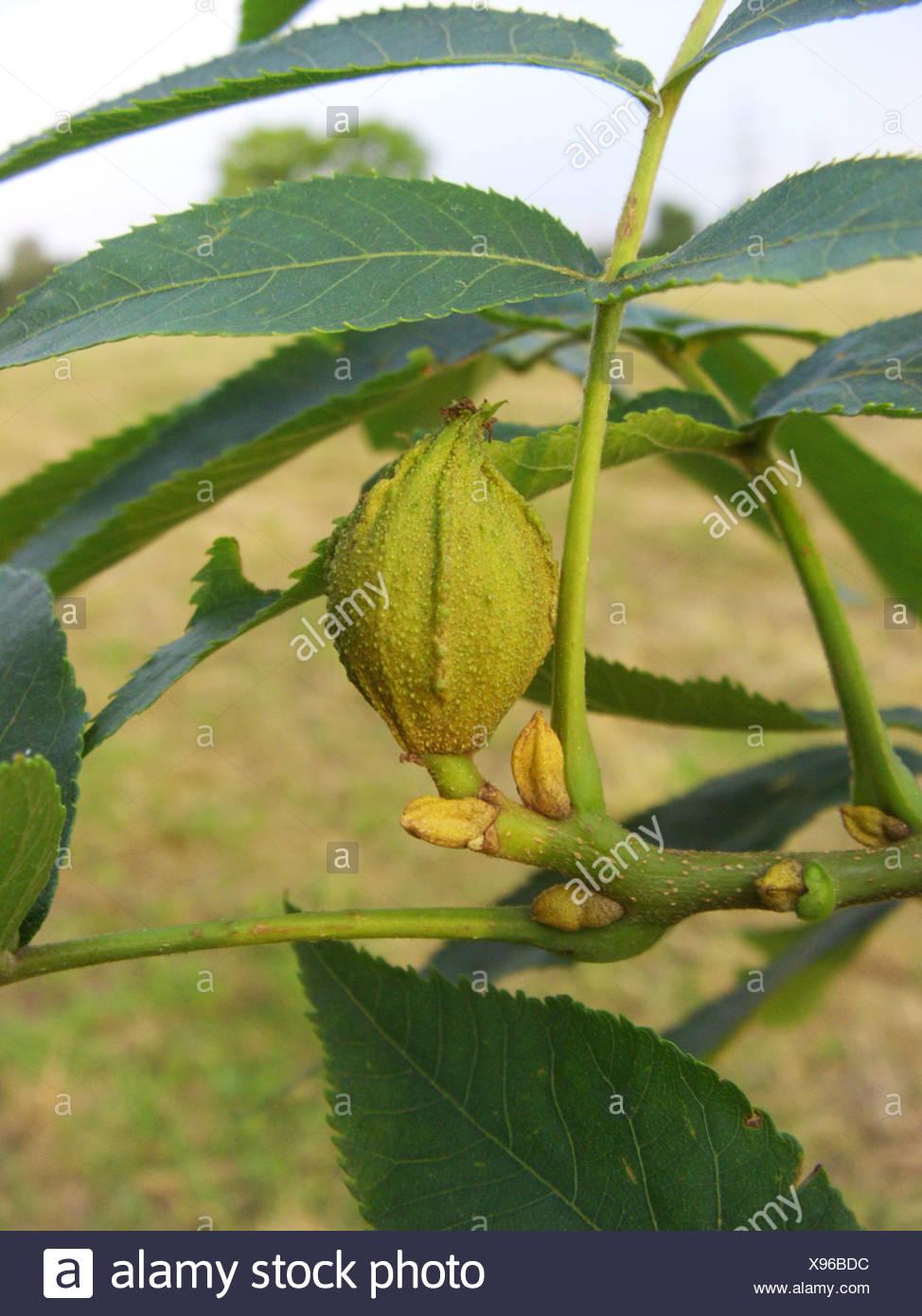 bitter-nut hickory, bitternut hockory (Carya cordiformis), branch with fruit Stock Photo