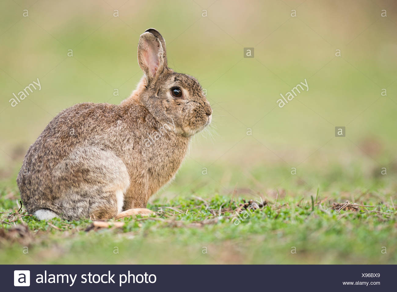 European rabbit (Oryctolagus cuniculus), Lower Austria, Austria - Stock Image