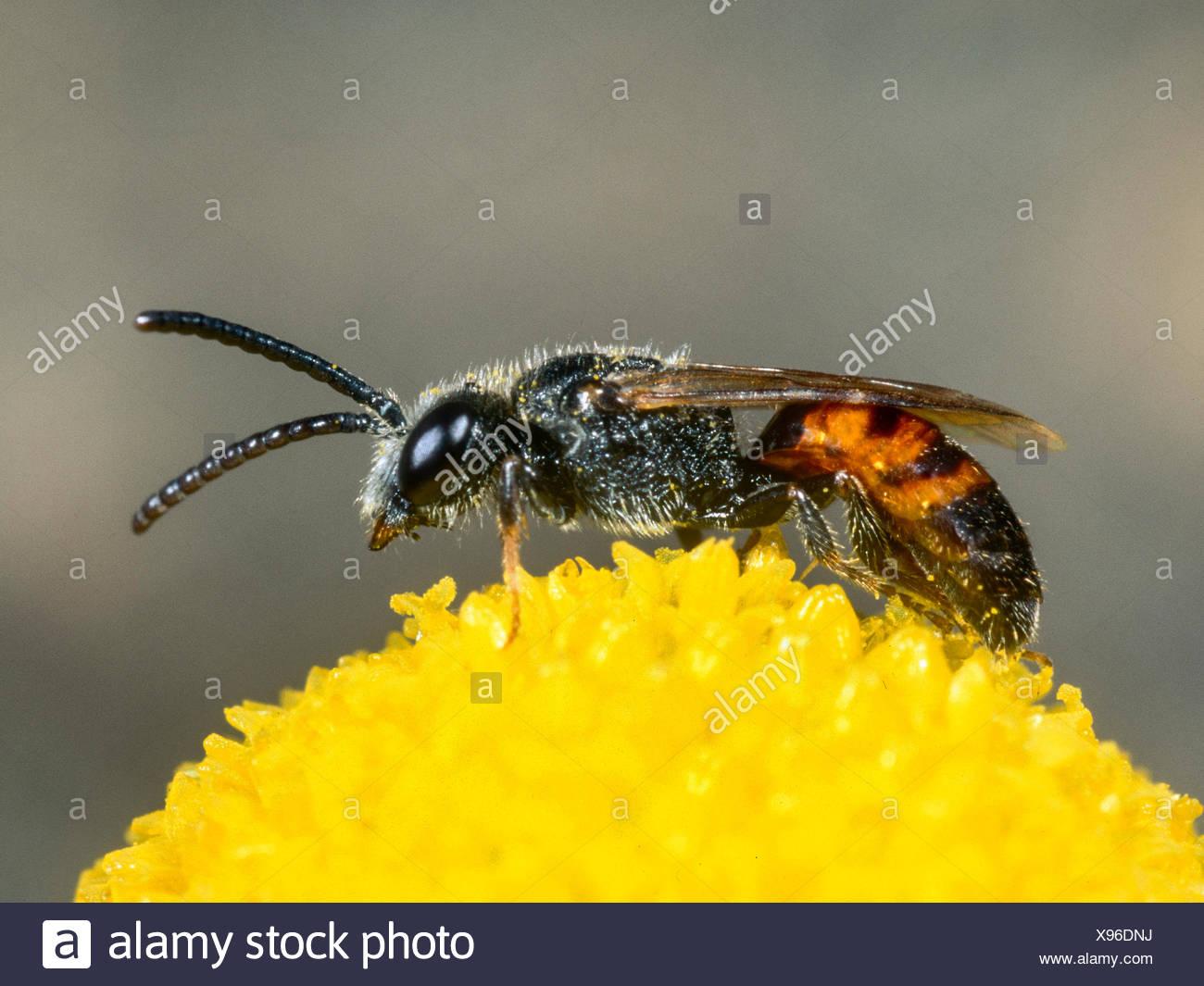 Blutbiene, Sphecodes crassus (Sphecodes crassus), Maennchen bei der Nektaraufnahme auf Echter Kamille (Matricaria chamomilla), D - Stock Image