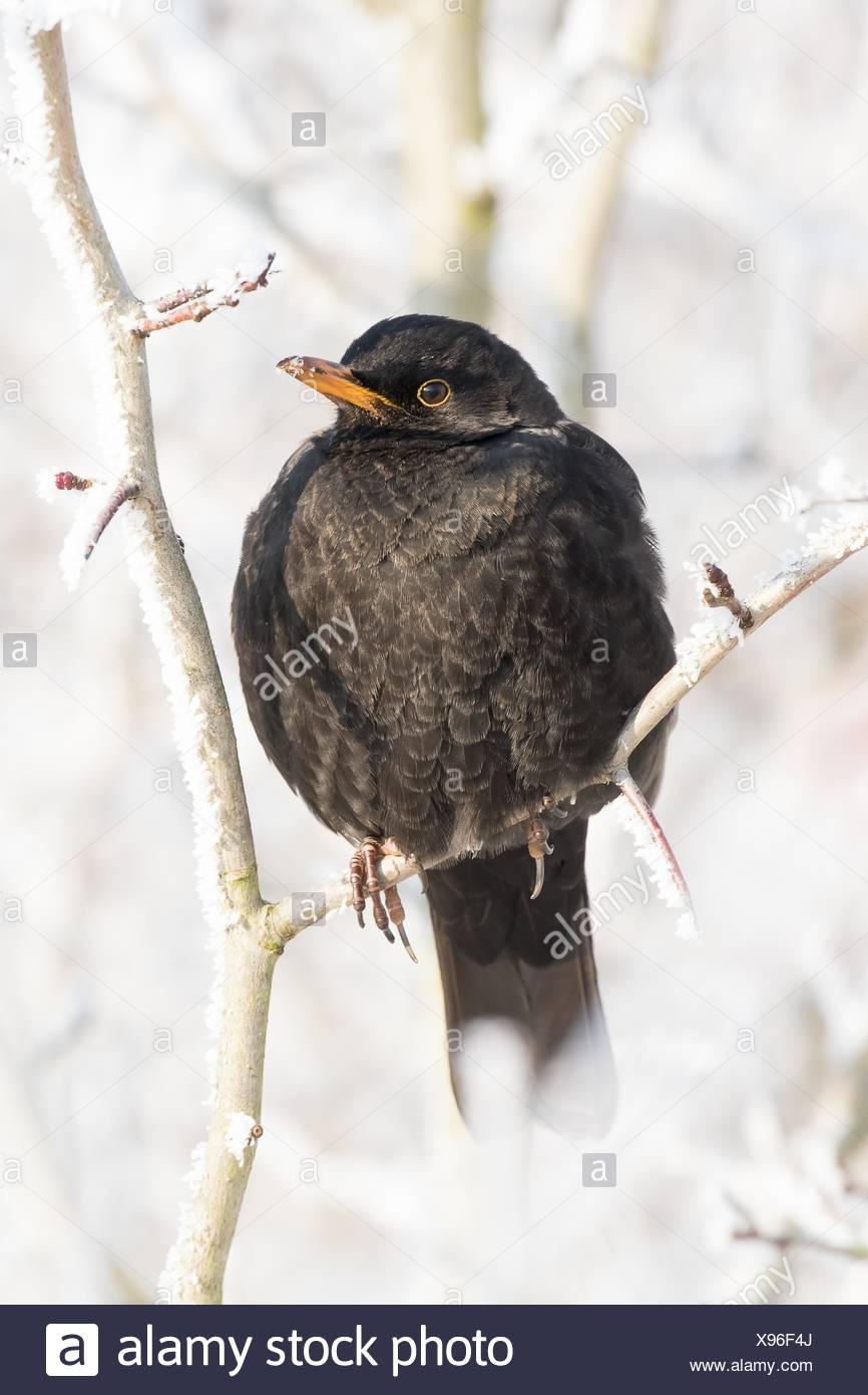Blackbird (Turdus merula) female sitting on twig with with hoarfrost, Hesse, Germany - Stock Image